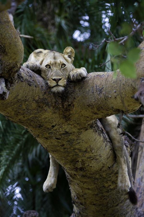 Tree Climbing Lion - Busanga Bush Camp